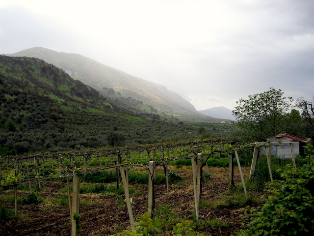 Vineyard below Cori